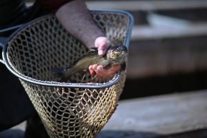 Wild und kultiviert: Vom Jungfisch nachhaltig auf den Speisetisch - Jungfisch-Schlüpfen & Vorstellung der Wildkultur-Kooperation mit Cerny's Fisch & Feinkost